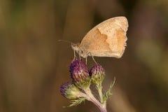 Farfalla del Brown del prato, jurtina di Maniola Immagini Stock