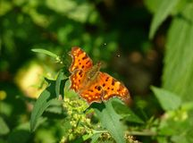 Farfalla del Brown su un foglio Fotografia Stock Libera da Diritti