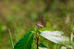 Farfalla del Brown sull'albero Fotografia Stock