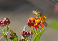 Farfalla del capitano Fotografia Stock Libera da Diritti