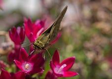 Farfalla del capitano Immagine Stock