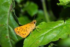 Farfalla del capitano Fotografie Stock