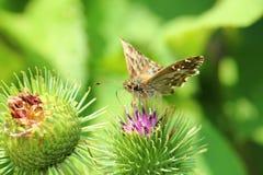 Farfalla del capitano della malva Fotografia Stock Libera da Diritti
