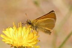 Farfalla del capitano di Essex che si alimenta un fiore fotografie stock libere da diritti