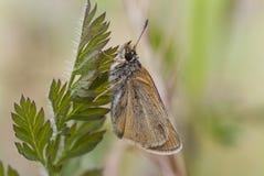 Farfalla del capitano di Essex sulla foglia, thymelicus lineola fotografia stock libera da diritti