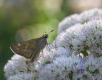 Farfalla del capitano macchiata argento Immagini Stock