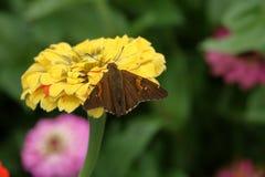 Farfalla del capitano macchiata argento Fotografia Stock Libera da Diritti