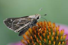 Farfalla del capitano sul Echinacea Coneflower Immagini Stock