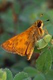 Farfalla del capitano sulla foglia Fotografia Stock Libera da Diritti