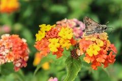 Farfalla del capitano sulla lantana Immagini Stock Libere da Diritti