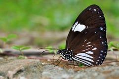 Farfalla del corvo della gazza Fotografia Stock Libera da Diritti
