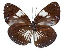 Farfalla del corvo della gazza Immagini Stock Libere da Diritti