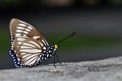 Farfalla del Courtesan Immagini Stock