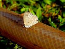 Farfalla del cupido delle pianure Fotografia Stock Libera da Diritti