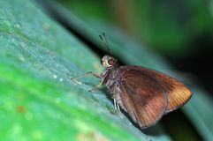 Farfalla del demone del cioccolato Fotografie Stock