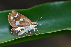 Farfalla del demone dell'erba Fotografia Stock