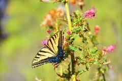Farfalla del deserto Immagini Stock Libere da Diritti