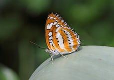 Farfalla del diadema Immagini Stock Libere da Diritti
