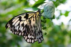Farfalla del documento di riso immagini stock