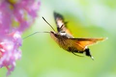 Farfalla del falco-lepidottero del colibrì fotografia stock libera da diritti