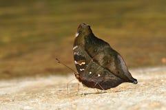 Farfalla del foglio di autunno Fotografie Stock Libere da Diritti