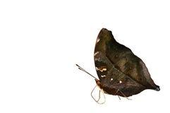 Farfalla del foglio di autunno Immagine Stock