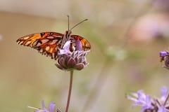 Farfalla del Fritillary del golfo fotografia stock