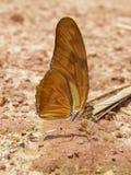 Farfalla del frutto della passione Immagine Stock