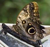 Farfalla del Grayling Fotografia Stock