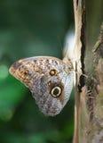 Farfalla del gufo Fotografia Stock