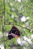 Farfalla del gufo Immagine Stock