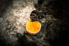 Farfalla del gufo - Caligo Memnon Fotografie Stock Libere da Diritti