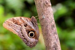 Farfalla del gufo che tiene sopra ad un albero Fotografia Stock