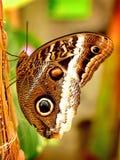 Farfalla del gufo di Brown Fotografia Stock