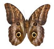 Farfalla del gufo isolata su priorità bassa bianca Fotografie Stock