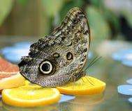 Farfalla del gufo, memnon di Caligo Immagine Stock