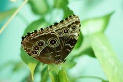 Farfalla del gufo, memnon di Caligo Fotografia Stock