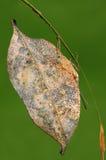 Farfalla del inachis/di Kallima sul ramoscello Fotografie Stock