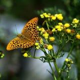 Farfalla del mantello dell'imperatore Fotografia Stock