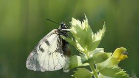Farfalla del mnemosyne di Parnassius sul fiore stock footage