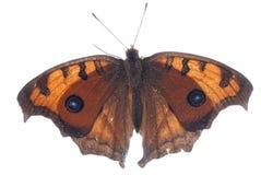 Farfalla del pansy del pavone Immagini Stock