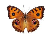 Farfalla del pansy del pavone Immagini Stock Libere da Diritti