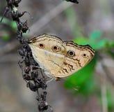 Farfalla del pansy del pavone Fotografia Stock
