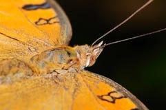 Farfalla del pansy del pavone Fotografia Stock Libera da Diritti