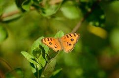 Farfalla del Pansy del pavone (almana di Junonia) Fotografie Stock