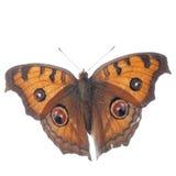 Farfalla del pansy del pavone, Junonia Immagine Stock Libera da Diritti
