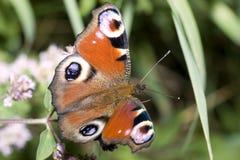 Farfalla del pavone Fotografia Stock