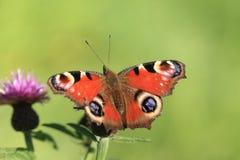 Farfalla del pavone. Fotografie Stock