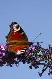 Farfalla del pavone Fotografie Stock