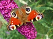 Farfalla del pavone Fotografie Stock Libere da Diritti